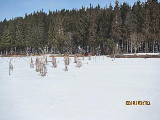 残雪のブルーベリー園