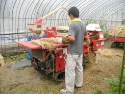 小麦の脱穀