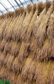 乾燥中の南部小麦