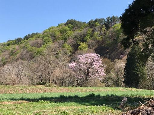 一本桜2019