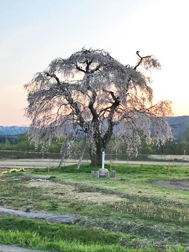 枝垂れ桜補正