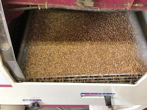 小麦の籾摺り機選別