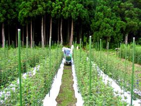 りんどう収穫中