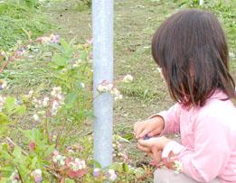 ブルーベリー収穫は子ども向き