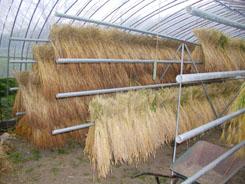小麦の乾燥