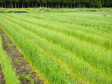 生育中の小麦