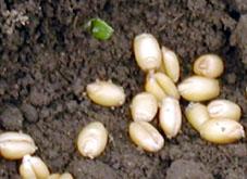播種後の小麦種