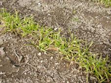 雪解け後の小麦