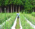 りんどう収穫