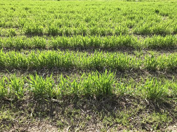 アリーナ小麦の春