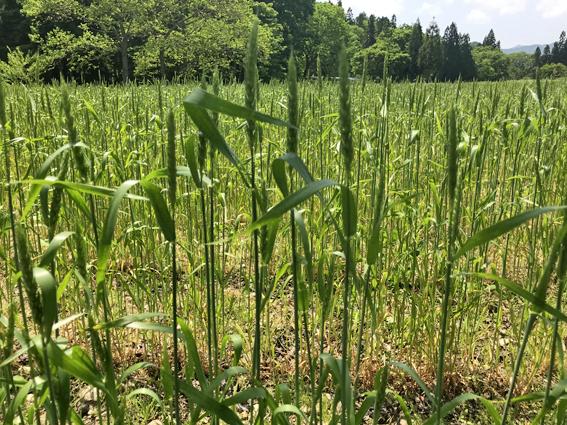 南部小麦の穂
