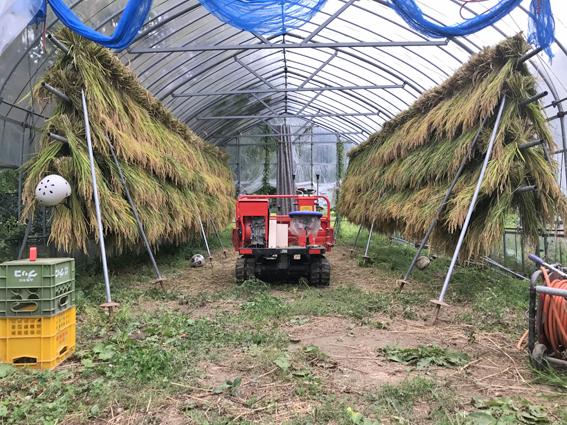 稲のハウス乾燥