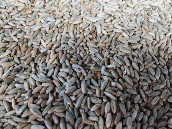 ライ麦種子