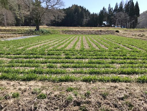 南部小麦の春