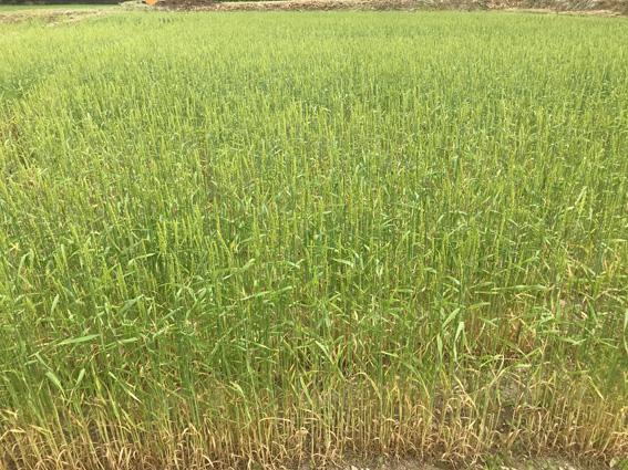 南部小麦2021