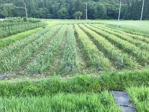 収穫期のにんにく