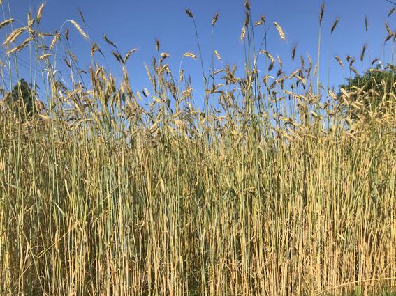 収穫期のライ麦